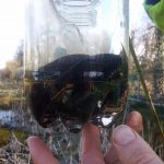 Newts in bottle trap